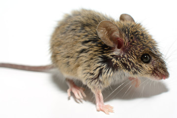 house mouse (Mus musculus) on white background