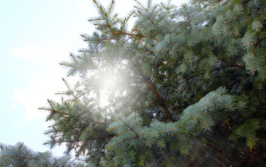 Forest pine with young shoots and sunny bright space around