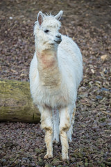 Alpaca, white ilama, funny animal, standing