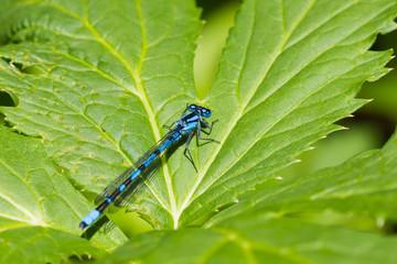 Azure dragonfly