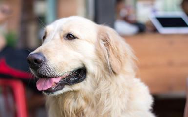 Dog Golden Retriever with blurred background.