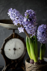 Bouquet of wood hyacinth