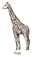 Giraffe standing, with inscription, hand drawn doodle, sketch in pop art style, vector illustration