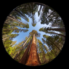 Giant redwoods fisheye, Yosemite