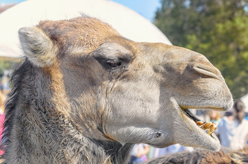 Camelus dromedarius. Profile of a dromedary, also called the Arabian camel. Moment when he's got open the mouth and show his teeth. Close-up during a medieval festival in Spain.