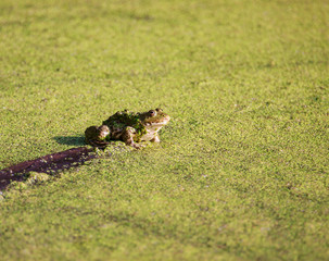 A Frog in the swamp with green duckweed