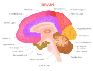 brain anatomy vector . infographic