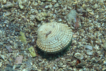 Warty venus clam