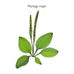 Great plantain. Plantago major - medicinal plant.