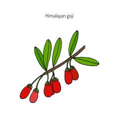 Goji berry branch