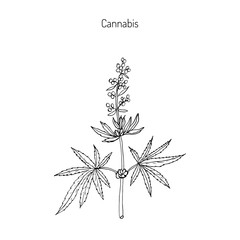 Hemp, Cannabis sativa