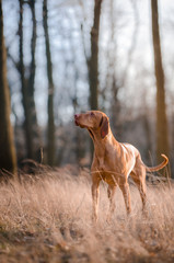 Hungarian hound dog in forrest in spring time