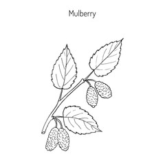 Mulberry morus nigra , or black mulberry, or blackberry