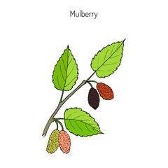 Mulberry morus nigra , or black mulberry
