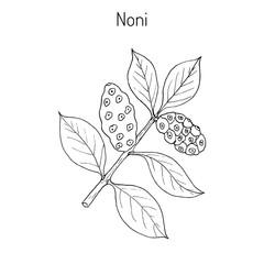 Morinda or Noni