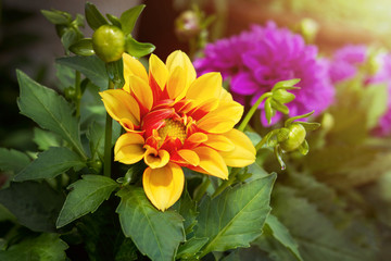 Dahlia flower in Yellow and Red color