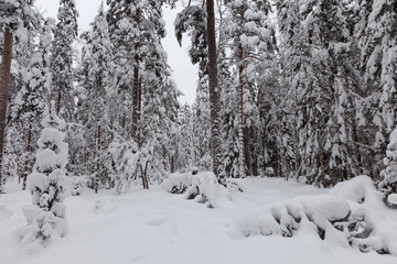 A snowy winter forest