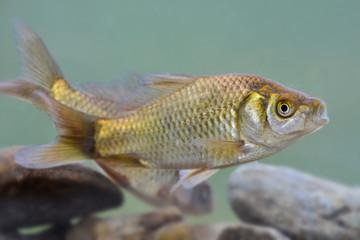 Silver crucian carp; Carassius auratus; crucian