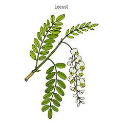 Robinia pseudoacacia, or black locust
