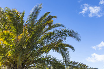 Perfect palm trees against a beautiful blue sky