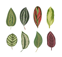 Exotic tropical leaves. Vintage botanical print.