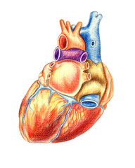 The human heart viewed from behind, hand drawn medical illustration, color pencils drawing with imitation of lithography