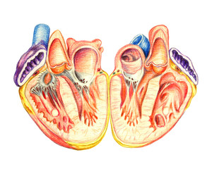 The human heart lengthwise cut, hand drawn medical illustration, color pencils drawing with imitation of lithography
