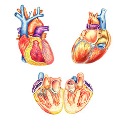 The human heart viewed from the front, behind and lengthwise cut, hand drawn medical illustration, color pencils drawing with imitation of lithography