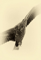 White Tailed Eagle (Haliaeetus albicilla) looking out for prey flying in the sky in the Delta of the Volga River, Russia (stylized retro, addition of pseudo film grain)