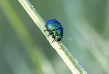 Green chrysolina
