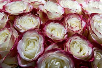 Rosen, festlich, formatfüllend