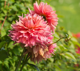 beautiful pink dahlias