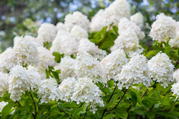 white blossoming hydrangea