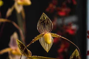 Rare pitcher orchid