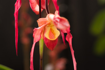Rare pitcher orchid, red.