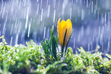 Yellow crocus on background spring rain