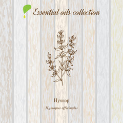 hyssop, essential oil label, aromatic plant.