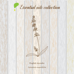 Lavender, essential oil label, aromatic plant.