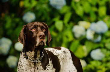 German Shorthair Pointer dog against flower bush