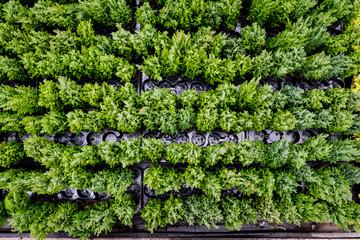 Obraz tuje ogrodnictwo - fototapety do salonu