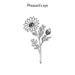 Adonis vernalis, spring pheasant s eye, or false hellebore, medicinal plant