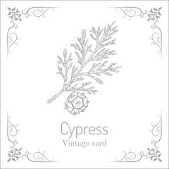 Mediterranean Cypress branch Cupressus sempervirens .