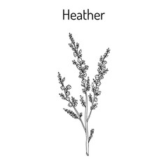 Heather calluna vulgaris branch with leaves and flowers