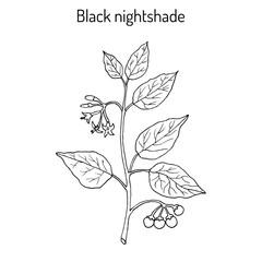 European black nightshade Solanum nigrum or duscle, garden huckleberry, petty morel, wonder berry, popolo
