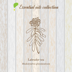 Labrador tea, essential oil label, aromatic plant