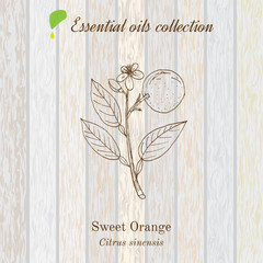 Sweet orange, essential oil label, aromatic plant