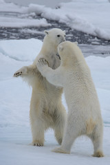 Two polar bears playing together on the ice