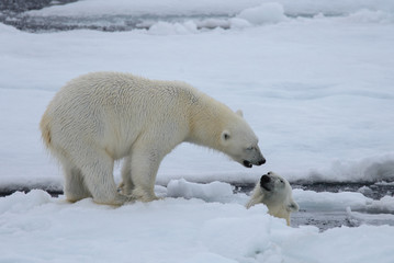 Deurstickers Ijsbeer Two polar bears playing together on the ice