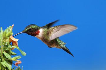 Fotoväggar - Ruby-throated Hummingbird