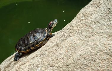 Green turtle sunbathing on a rock in Hong Kong Park
